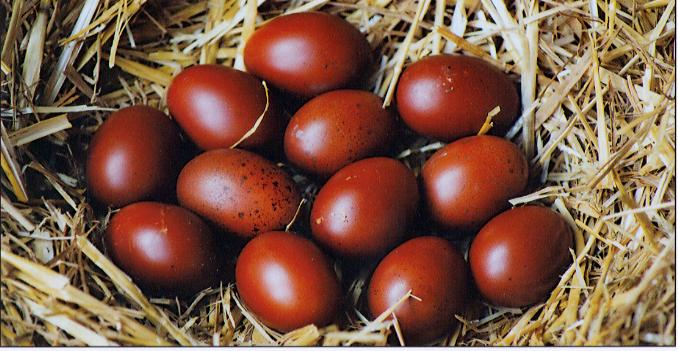 The beautiful eggs of ideal French and original Marans.